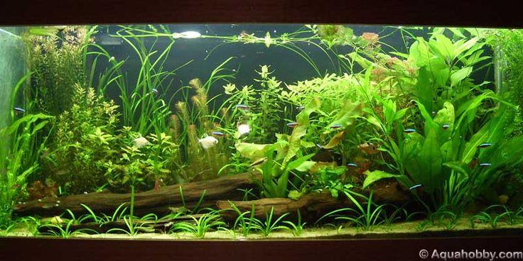 Native plants amazon river aquarium aquarium pinterest for Amazon aquarium fish