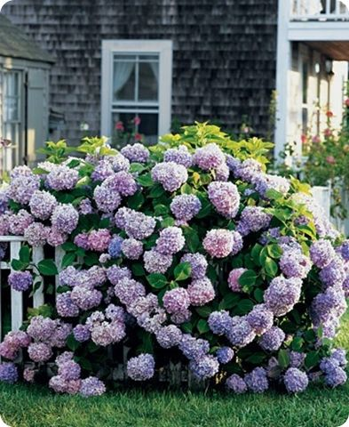 Acres of hydrangeas will look amazing in your Hamptons style garden and provide gorgeous fresh blooms to take indoors