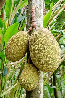 The jackfruit (Artocarpus heterophyllus), also known as jack tree, jakfruit, or sometimes simply jack or jak[6] is a species of tree in the mulberry and fig family (Moraceae).