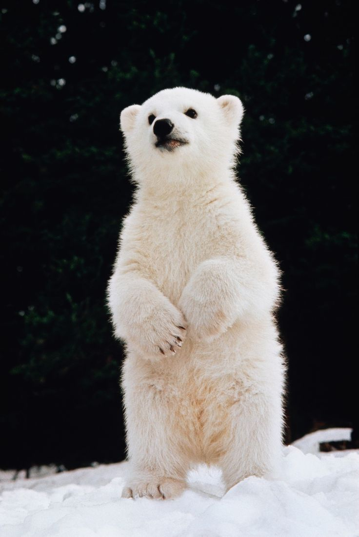 Polar Bear Cub standing on hind feet - Ken Graham. | Cute ...