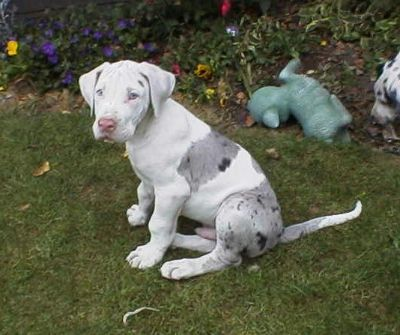 merlequin great dane puppy | Pets | Pinterest | Beautiful ...