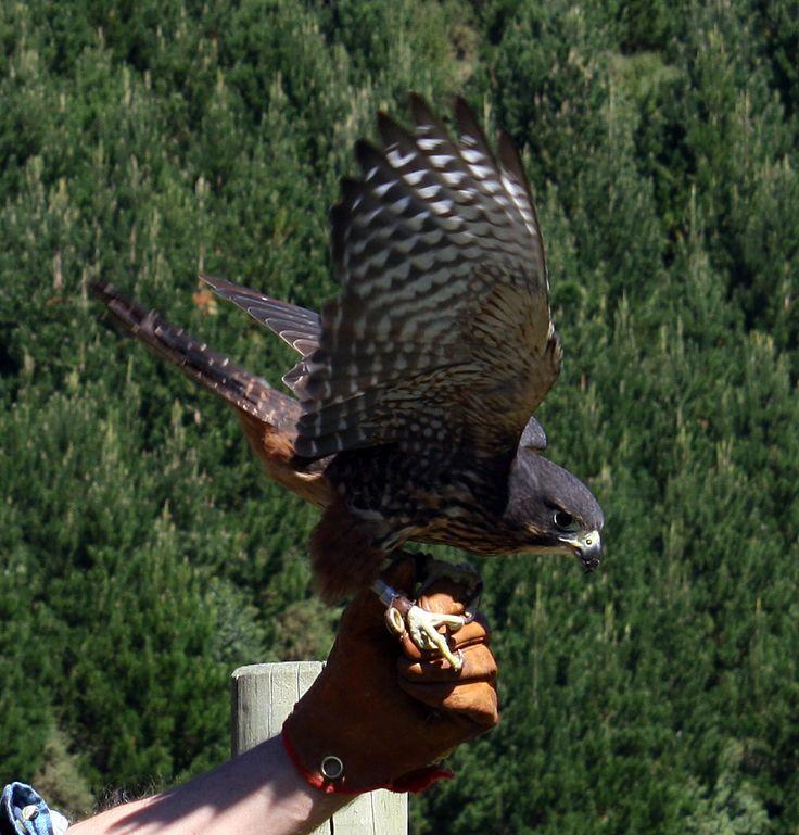 A NZ native falcon snapped at Wingspan