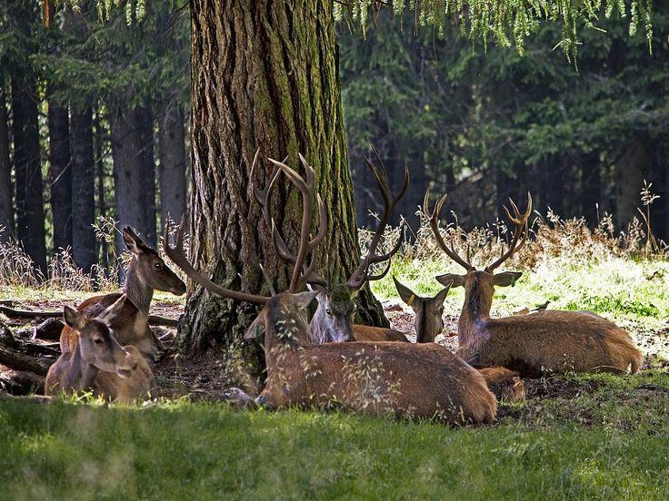 cervi nella foresta dei violini
