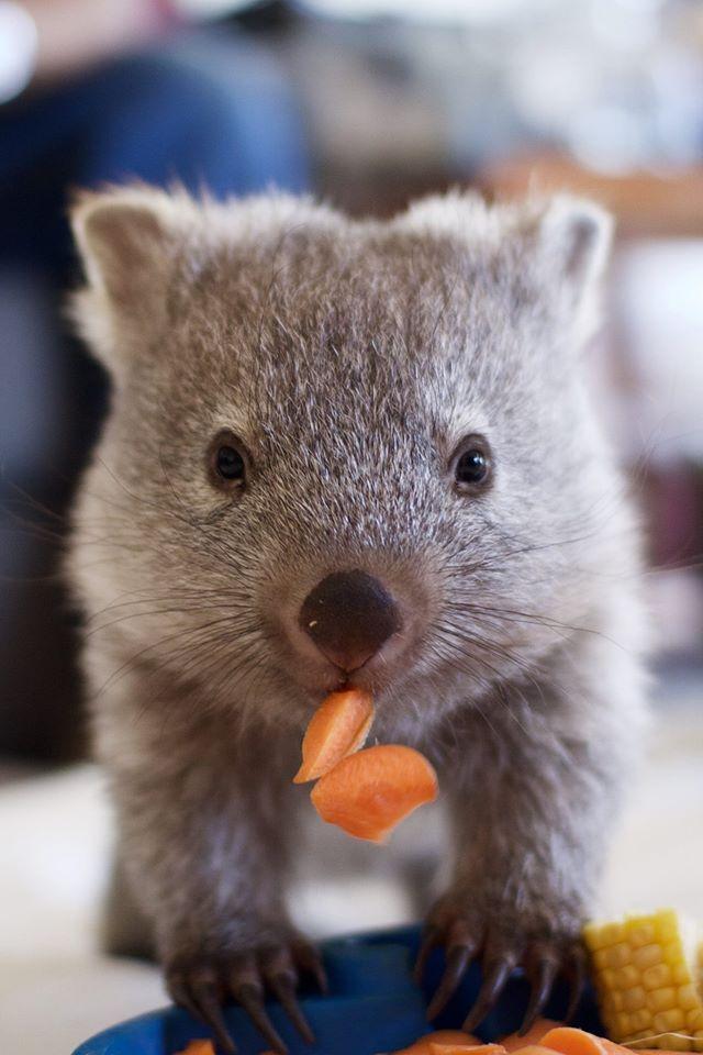 Maria the wombat © Bonorong Wildlife Sanctuary