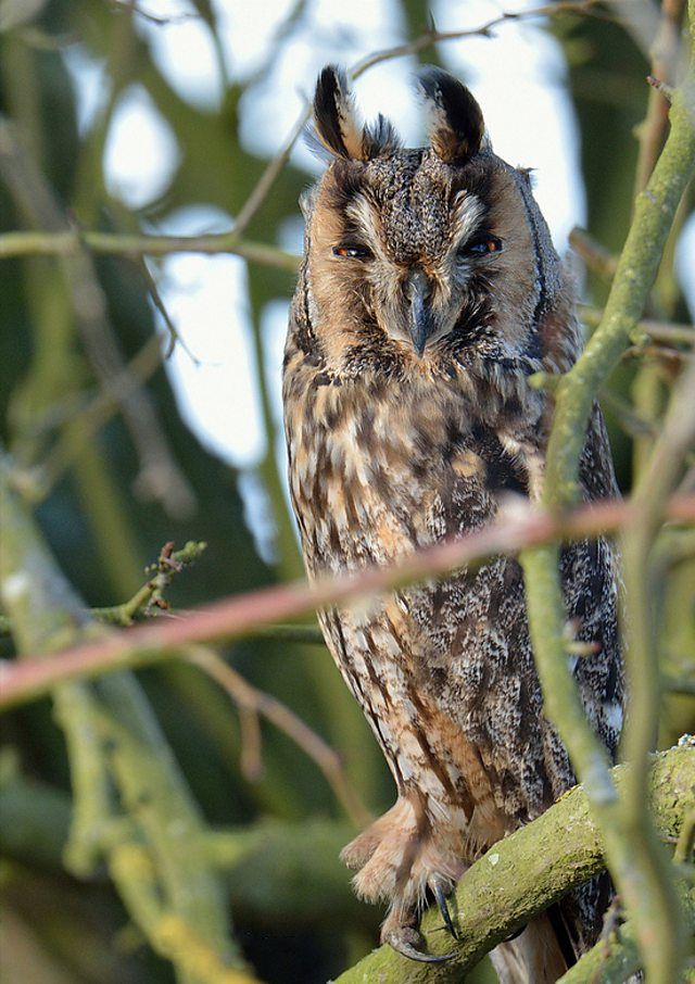 BBC Blogs - Winterwatch - Wing Tips - Identifying our owls