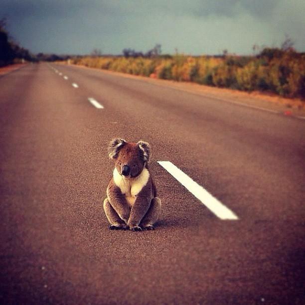 koala at Kangaroo Island