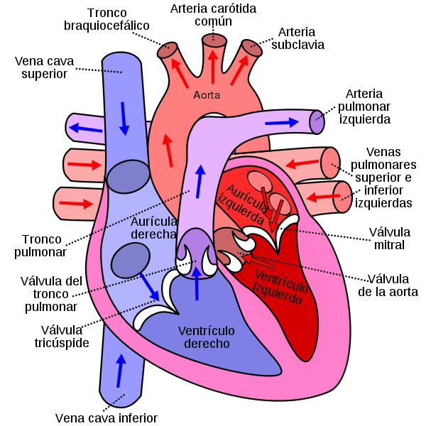 Archivo:Diagram of the human heart (cropped) es.svg