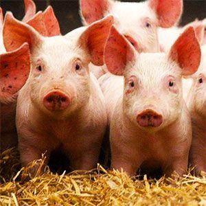 La integración vertical dentro de la producción de porcino permite a la integradora, (fábrica de piensos), manejar uniformidad de producto y un mayor volumen de suministro, mientras que el integrado está más tranquilo al no afectarle las fluctuaciones de las materias primas ni los costes de producción.