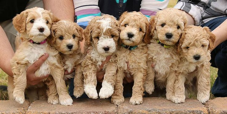 I must have one! ... Australian Labradoodle Puppies