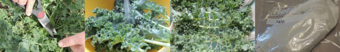 How to harvest kale so it keeps producing, and properly store it.