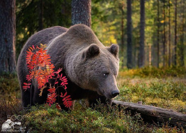 Braunbären - finnische Wildtiere by Urs Schmidli on 500px