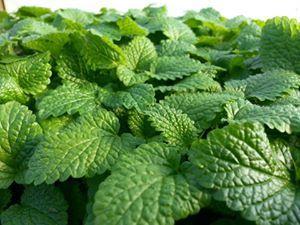 Frutos e Ervas Silvestres Comestíveis+ Palestra \'alternativas aos herbicidas\' - ENTRADA LIVRE