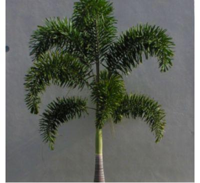 Foxtail Palm1030