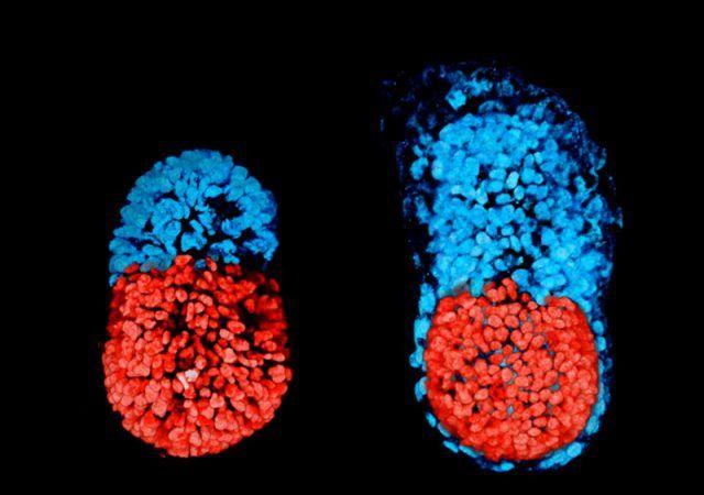 Científicos logran crear embrión de mamífero utilizando sólo células madre