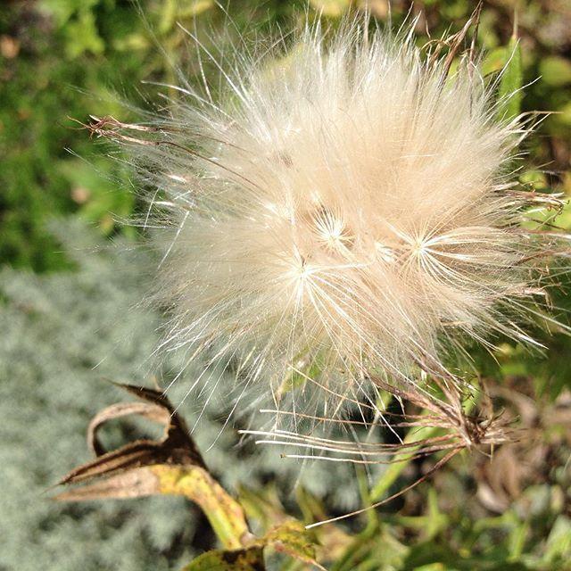 #mindfulness#achtsamkeit#summer#sommer#gardening#garten#natur#nature#naturelovers#landliebe#landlust#bauerngarten#gartenglück#gartenliebe#wachstum##growth#flowers#blumen#floral#structure#life#leben#thistle#distel#mariendistel#seed#samen#garden