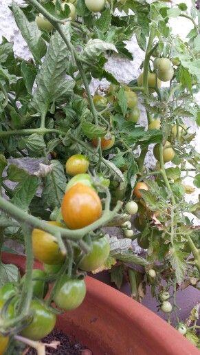 Eigene Tomaten