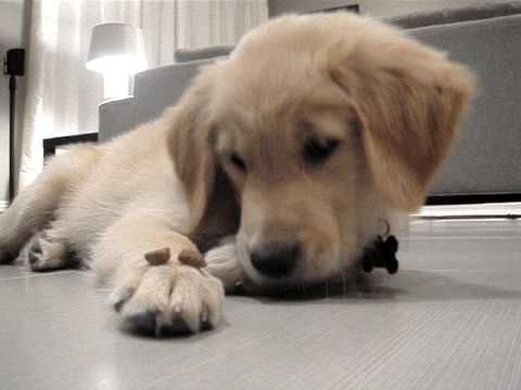 "Golden Retriever Puppy Told to ""Leave It"". not only is this pup unbelievably adorable, watching her resist the kibbles on her paw is the best!"