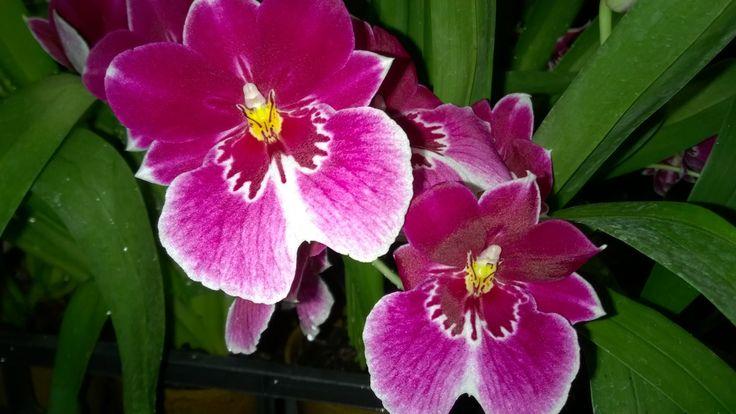Miltonie in fiore da #enricoorchidee