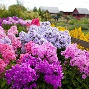 Удобряем многолетние многолетние флоксы, технология и рекомендации. Как подкормить флоксы, и какие удобрения при этом использовать, рекомендации флористов.