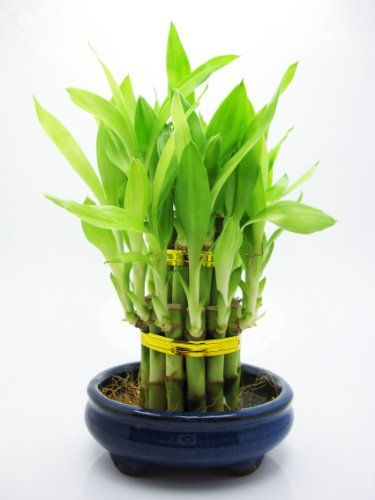 17 Best Images About Lucky Bamboo On Pinterest Dracaena 400 x 300