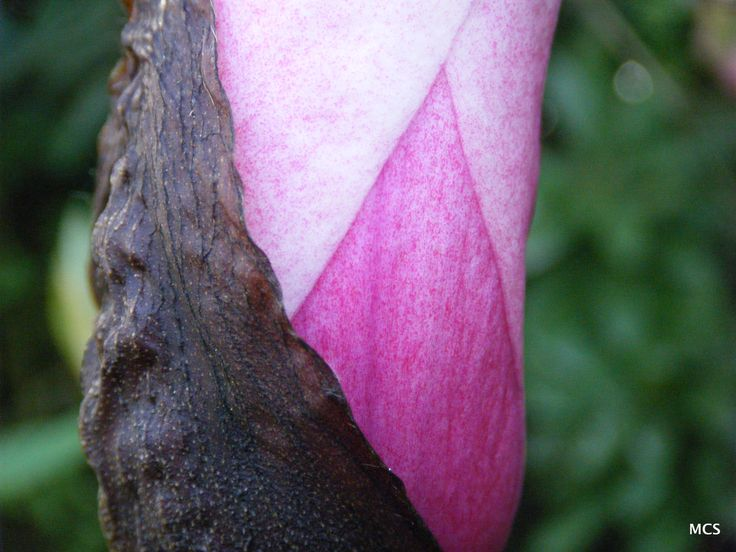 Bud splitting on a Magnolia in our mixed border - 11th April 2011
