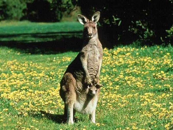 canguro australiano, respiración por pulmóns.