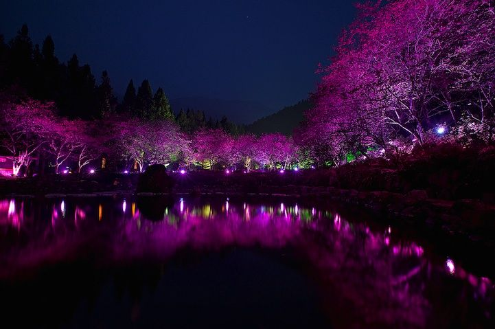 Cherry Blossom Night | Taiwan's Dazzling Cherry Blossom Trees Light Up at Night