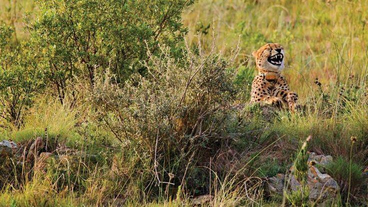 Un elefantino che nasconde la testa sotto la sabbia nel parco nazionale in Zimbabwe. Un ghepardo beccato a farsi un grossa risata tra i cespugli di una riserva in Sudafrica. Un gorilla che si mette le dita nel naso tra gli alberi di una foresta in Ruanda. Sono alcuni dei protagonisti del concorso «Comedy Wildlife Photography Awards», una specie di alternativa buffa al più serioso «Wildlife Photographer of the Year», uno dei concorsi di fotografia naturalistica più importanti al mondo…