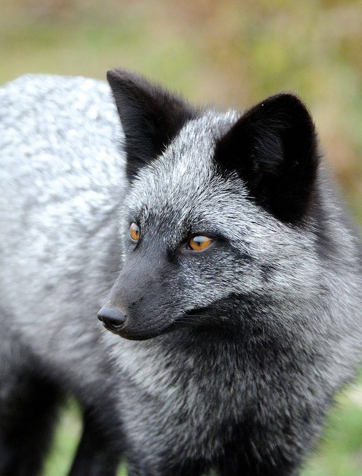 The silver fox is actually the same species as the red fox – they simply have different pigmentation variations. The silver fox was, at one time, one of the most valuable fur foxes that could be found. They are still bred and farmed for their fur. (Image credits: Matt Knoth) on BoredPanda