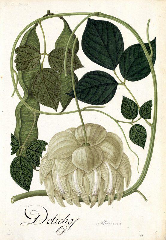 Dolichos. Proyecto de digitalización de los dibujos de la Real Expedición Botánica del Nuevo Reino de Granada (1783-1816), dirigida por José Celestino Mutis: www.rjb.csic.es/icones/mutis. Real Jardín Botánico-CSIC.