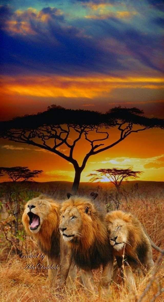 Pin Von Patricia Gorges Auf Lowen Afrika Tiere Grosse Katzen Und