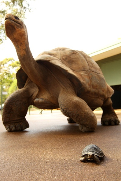 A 1 year old galapagos tortoise & a fully grown galapagos tortoise at the Taronga Western Plains Zoo in Dubbo, Australia... Amazing :)