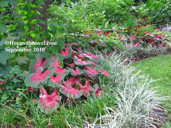 22 best images about caladiums on pinterest persian for Best grasses for borders