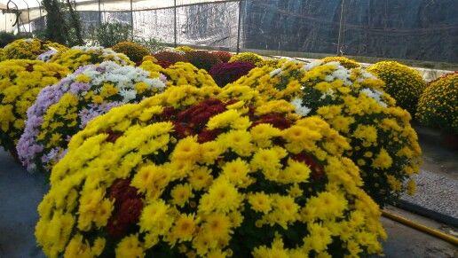 Vasi di crisantemi