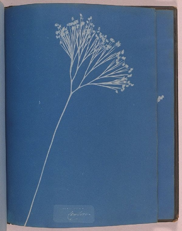 Atkins, Anna (1799-1871)  Date:    1853  Description:    A cyanotype labelled 'Ceylon', from the album 'Cyanotypes of British and Foreign Ferns', made by Anna Atkins in 1853.    This image was made by placing the plant specimen on top of light-sensitised paper and then exposing it to sunlight. The brilliant blue colour of the resulting prints gives the process its more common name - the blueprint. The process was used for many years to duplicate engineers' drawings.