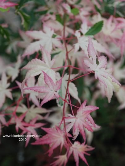 Acer palmatum 'Orido-nishiki'