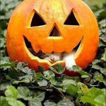 Lazy Halloween cat in a Fall pumpkin <3