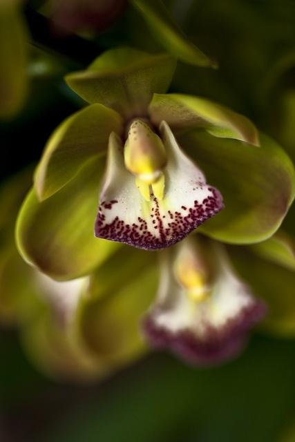 Cymbidium  by Missouri Botanical Garden Orchid Show 2012
