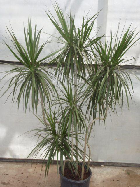 how to grow dracena marginata