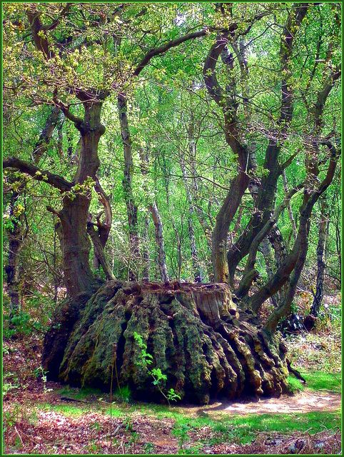 The Cauldron Tree | Sherwood Forest, UK by Tracey Stephens