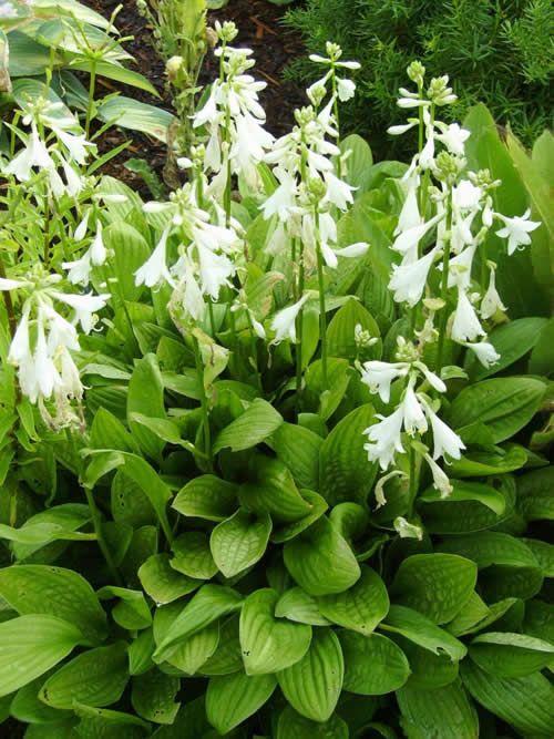 Hosta Sieboldii 'Snowflakes' (F. Williams/AHS, 1986) Smal groen blad met afgeronde top,  bodembedekkend, sieboldii type, rijk bloeiend. Bloemkleur wit. Standplaats zon/schaduw.  Hoogte 15 - 25 cm.