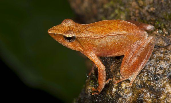 New frog species found in troubled Indian habitat.  NEW DELHI (AP) — Scientists have discovered 14 new species of so-called dancing frogs in the jungle mountains of southern India — just in time, they fear, to watch them fade away.  Indian biologists say they found the tiny acrobatic amphibians, which earned their name with the unusual kicks they use to attract mates, declining dramatically in number during the 12 years in which they chronicled the species through morphologica