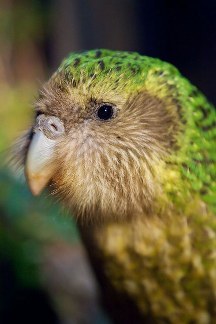 The Kakapo (Strigops habroptila) is a flightless nocturnal parrot that lives in New Zealand. It was once very abundant. Today, however, there are only 126 Kakapos left in the wild and each are named. For more about kakapos go to:  www.kakaporecovery.org.nz
