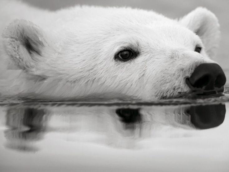 EN IMAGES. La douceur de l'Arctique vue en noir et blanc. Mon rêve, aller voir les ours!