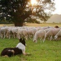 #dogalize Las cinco razas de perros ovejeros más destacadas #dogs #cats #pets