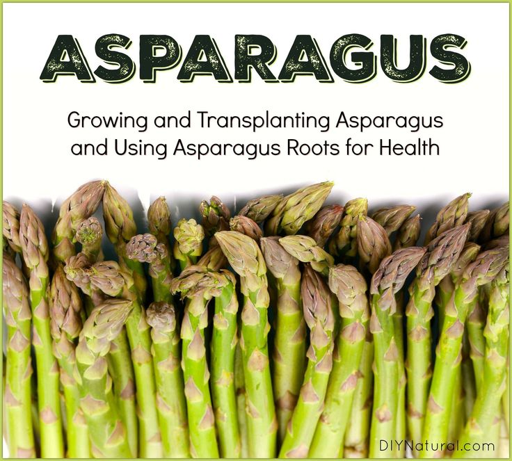 Enjoy this article on growing asparagus, transplanting asparagus, and healthy uses for asparagus roots. All you need to know to establish an asparagus bed.