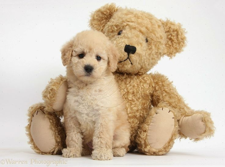 Shichon Teddy Bear Puppies For Sale Winter Season Safety Tips ...