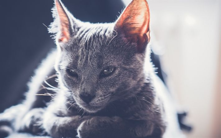 Download wallpapers gray cat, pets, cute animals, cats