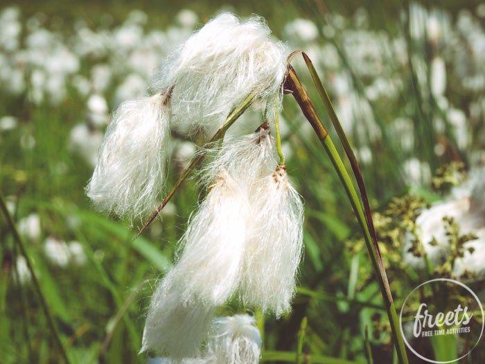 Wollgras, Blumenwiese am Gutenmann