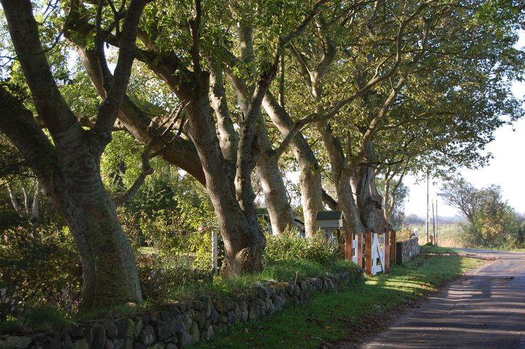 Vieux arbres